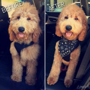 trimming a goldendoodles face before and after picture
