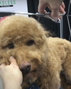 trimming the top of a goldendoodles head