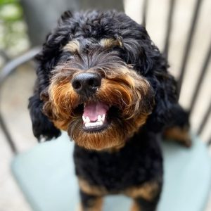 what is a rottiepoo or rottle dog breed