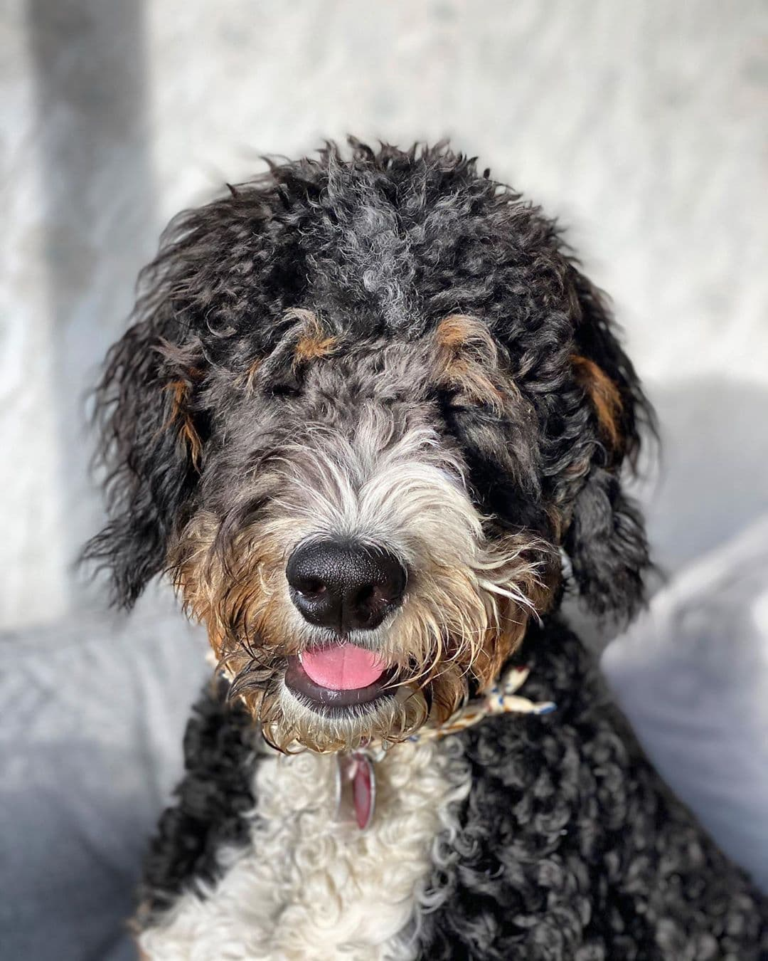 what is a st. berdoodle dog