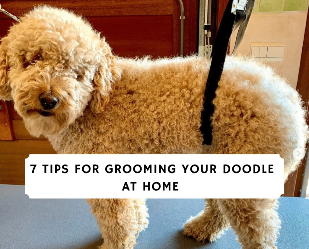 7 Tips for Grooming Your Doodle at Home