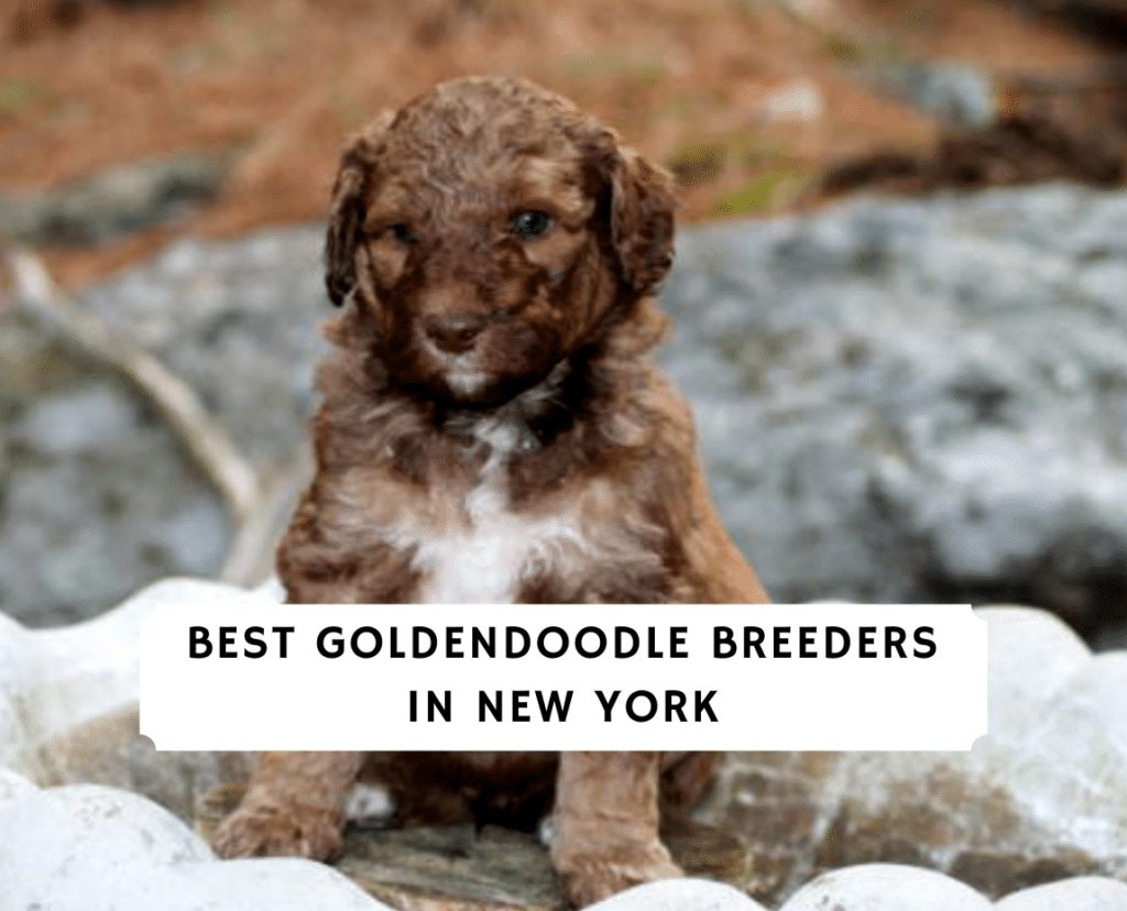 Best Goldendoodle breeders in New york