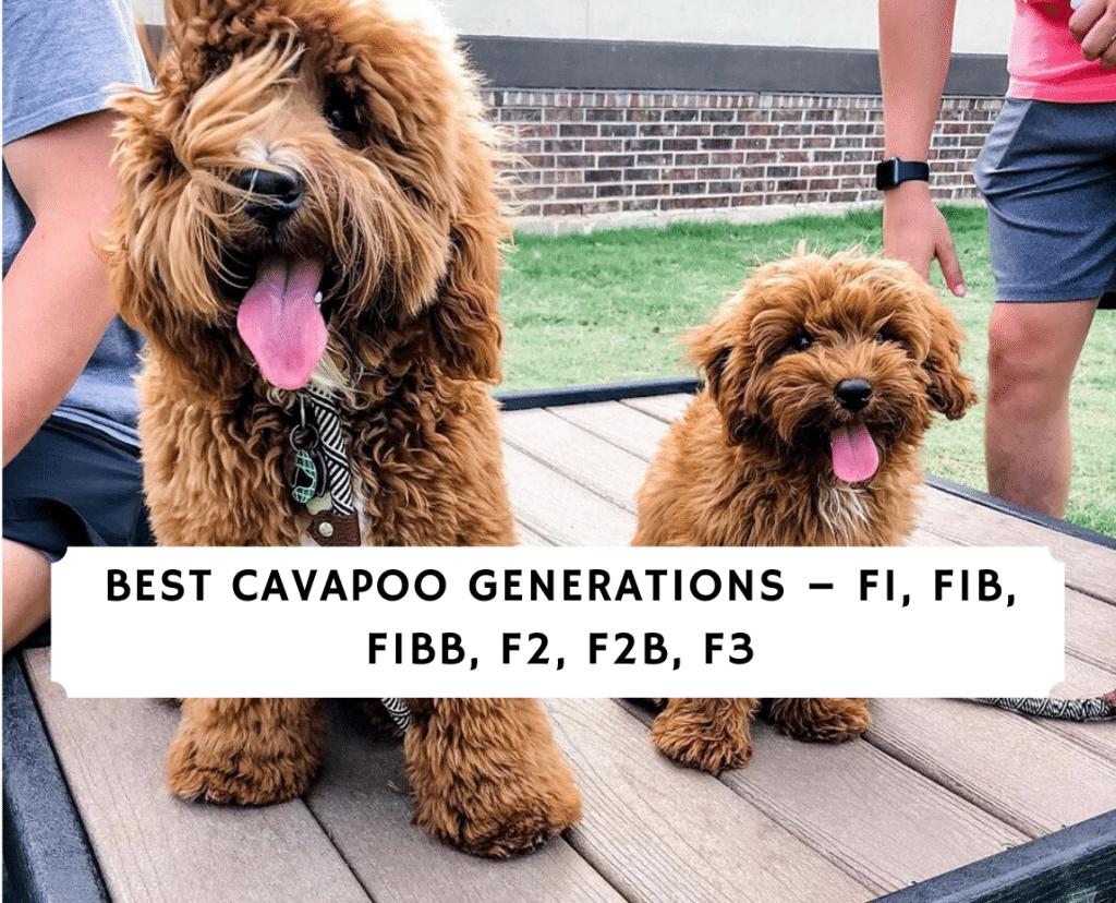 Best cavapoo Generations – F1, F1B, F1BB, F2, F2B, F3
