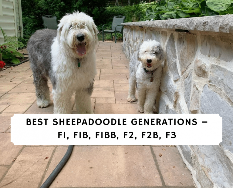 Best sheepadoodle Generations – F1, F1B, F1BB, F2, F2B, F3