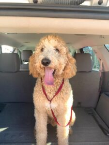 Idog rescue for Goldendoodles and adoption