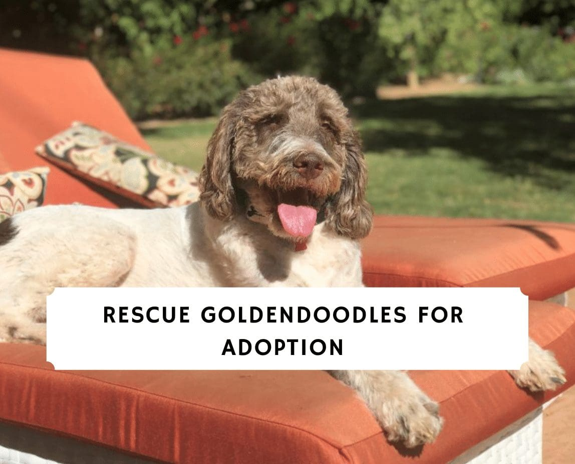 Rescue Goldendoodles for Adoption