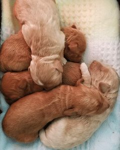 Sierra Vista Labradoodle puppy breeder in California