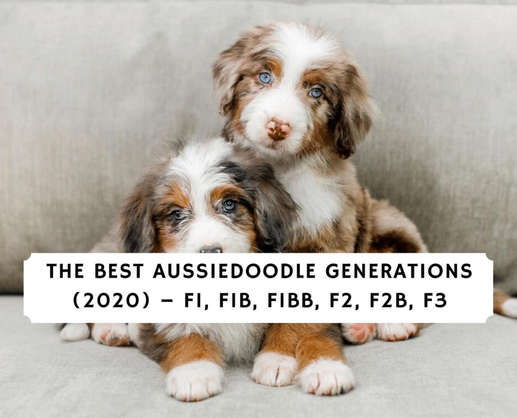 The Best Aussiedoodle Generations (2020) – F1, F1B, F1BB, F2, F2B, F3
