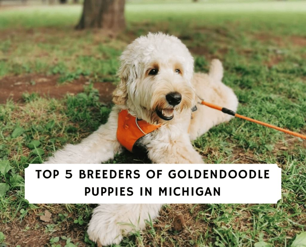 Top 5 Breeders of Goldendoodle Puppies in Michigan