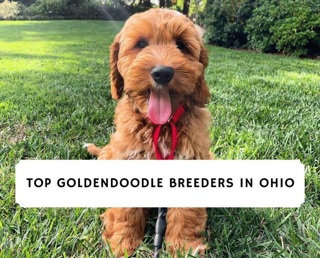 Top Goldendoodle Breeders in ohio