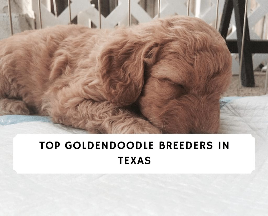 Top Goldendoodle Breeders in texas