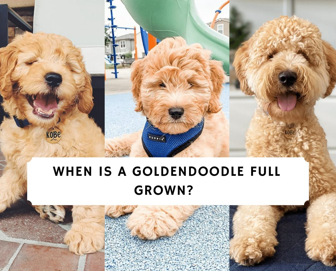 When Is A Goldendoodle Full Grown 2020 We Did The Math We Love Doodles