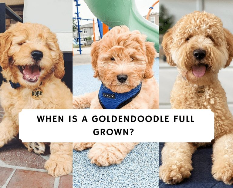 When is a Goldendoodle Full Grown_