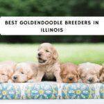 best Goldendoodle breeders in illinois