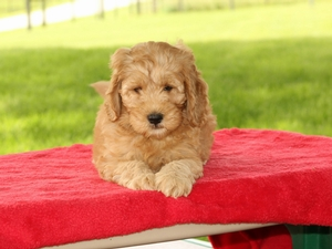 central goldendoodle breeders in illinois