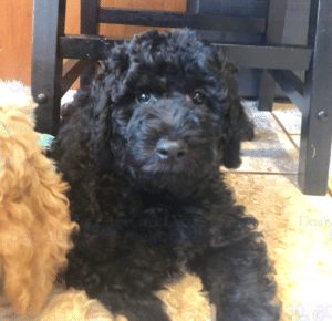 deans creek doodles new york goldendoodle breeders