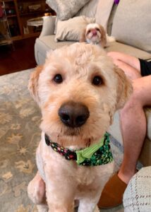 delaware valley goldendoodle adoption and rescue