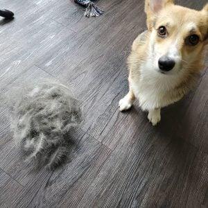 dog is shedding alot