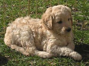 elite blend labradoodle puppies in california