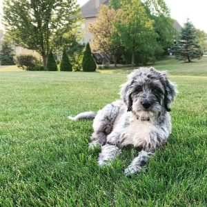 f1 aussiedoodle picture