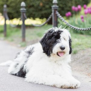 f1 sheepadoodle picture