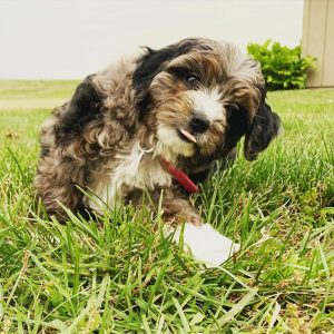 f1b aussiedoodle picture