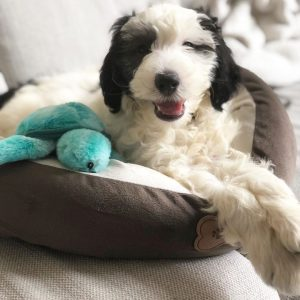 f1b sheepadoodle picture