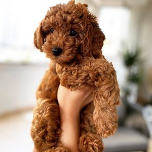 f1bb cavapoo picture