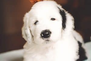 f2 sheepadoodle picture