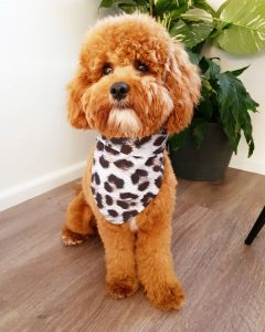 f2bb cavapoo picture