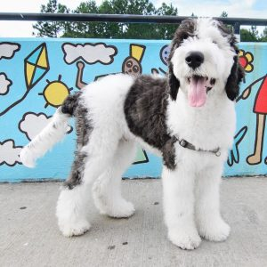 f2bb sheepadoodle picture