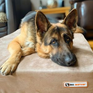 german shepherd on dog bed with arthritis