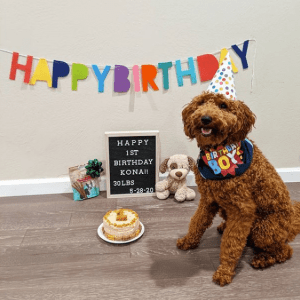 goldendoodle at 1 year