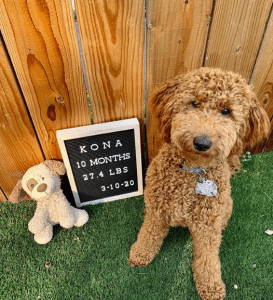 goldendoodle at 10 months