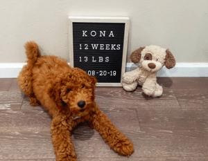 goldendoodle at 12 weeks