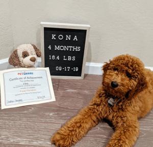 goldendoodle at 16 weeks