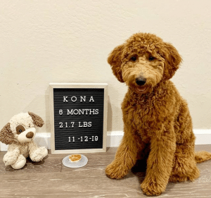 goldendoodle at 6 months