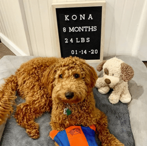 goldendoodle at 8 months