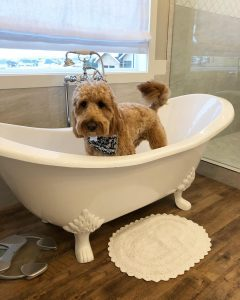 goldendoodle in bath