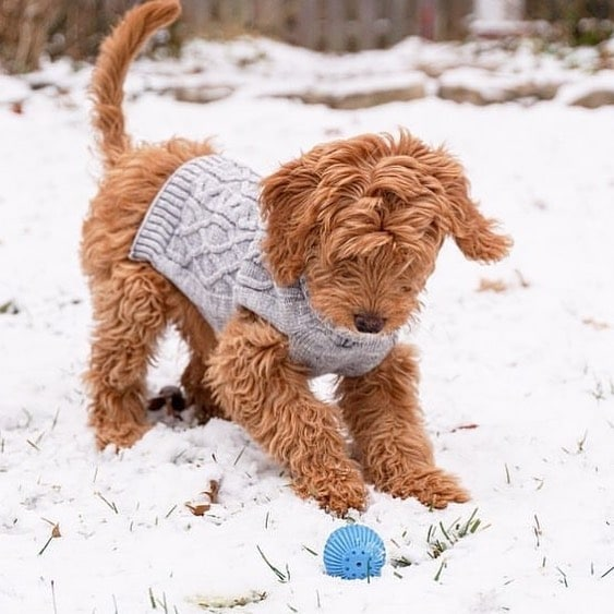 goldendoodle interacting with babble ball