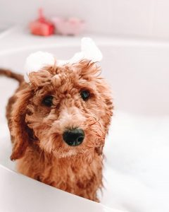 goldendoodle shampoo