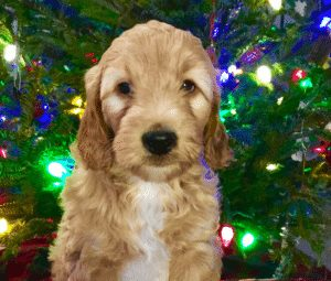 hickory hills goldendoodles puppies in michigan
