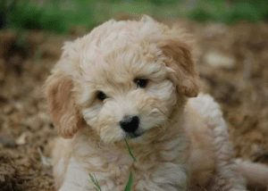 lonestar doodles texas goldendoodle breeder