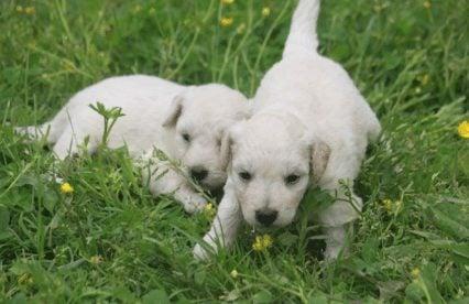 miniature goldendoodle puppies ohio