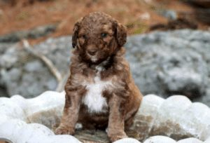 morningshine mountain doods goldendoodle puppy breeders