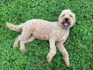 puppyspot goldendoodle puppies for sale in california