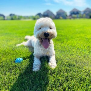 puppyspot goldendoodles puppies for sale in florida