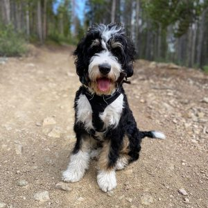 sheepadoodle genetic breakdown