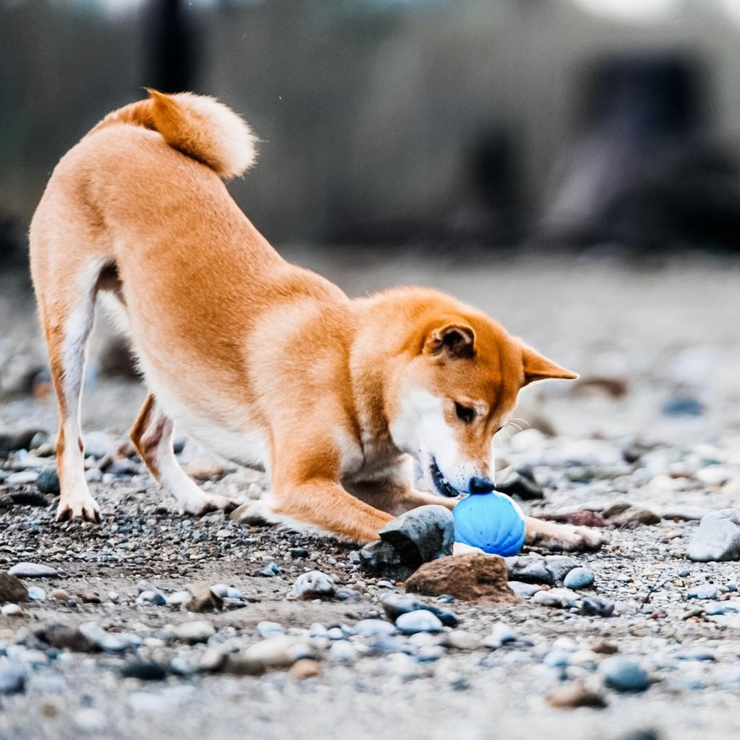 shiba dog with babble ball