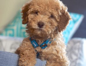 whitehouse goldendoodle puppies of michigan